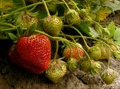 strawberries ripening in a garden