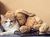 picture of animal cruelty  - Portrait of yellow sad sick cat lying at home with rabbit toy