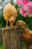 Chickens Eating Bread On Tree Stump