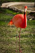 image of flamingo  - The Flamingos or Flamingoes in Lisbon Zoo  - JPG