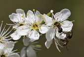 image of formica  - Blackthorn blossom  - JPG