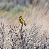 foto of meadowlark  - Male Meadowlark perched in some dry bushes with head turned to the right - JPG