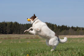 picture of laika  - Siberian husky  - JPG