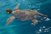 stock photo of sea-turtles  - Loggerhead Sea Turtle swimming in the blue water near Zakynthos island  - JPG