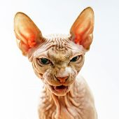 Horror Face Portrait Of Sphynx Cat