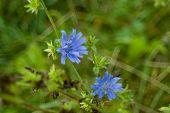 Blue Cornflowers In Autumn