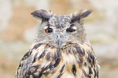 Horned Owl Or Bubo Bird Close-up Portrait