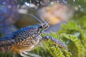 Crayfish On Green Water Plant