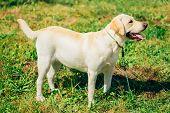 White Labrador Retriever Dog Standing On Grass