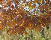 Oak Tree Leaves with blue sky piercing thru in fall