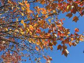 Maple Tree Leaves Show Beautiful Shades of Fall Color against a bright blue sky