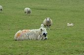 Mother Sheep With Lamb Lying In A Green Pasture