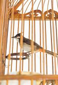 stock photo of bulbul  - Red-whiskered bulbul in the birdcage isolate background