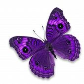 Постер, плакат: Purple Butterfly