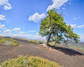 Sentinel Tree, Craters Of The Moon National Monument, ID