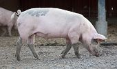 image of animal husbandry  - big pig full - JPG