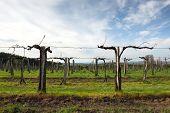 Vineyard with sky
