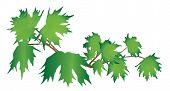 Branch Maple
