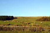 Sheep in a field on the West Pennine Moors near Darwen