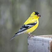 stock photo of goldfinches  - An American Goldfinch with a sunflower seed in his beak