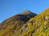 Golden Larch Forest Near Zermatt