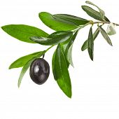 pic of olive branch  - olives branch with black olive on a white background - JPG