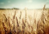 picture of fall-wheat  - golden wheat field and sunny day - JPG
