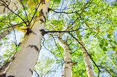 picture of birching  - Green birch in spring forest - JPG