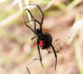stock photo of black widow spider  - Black Widow spider outdoors - JPG