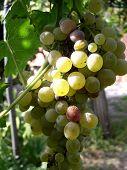 uva para vino 1