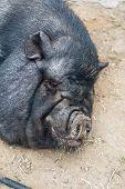 picture of pig  - pig sleeping black pig closeup portrati - JPG