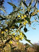 pic of mimosa  - Acacia dealbata  - JPG