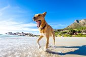 picture of jumping  - terrier dog having funrunning jumping and playing at the beach on summer holidays - JPG