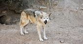 pic of lupus  - A Mexican Gray Wolf Canis lupus Issues a Warning Snarl Outside Its Den - JPG