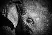 pic of elephant ear  - Close - JPG