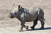 foto of afrikaner  - Juvenile White Rhinoceros walking on the dry ground in its habitat - JPG