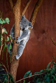 picture of eucalyptus trees  - Koala Bear relaxing on Australian Eucalyptus tree - JPG
