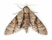 pic of ashes  - Ash Sphinx Moth  - JPG