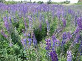 pic of lilas  - A colorful meadow of bright purple lupines - JPG