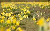 foto of daffodils  - Narcissus is a genus of predominantly spring perennial plants in the Amaryllidaceae family - JPG