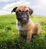 stock photo of spayed  -  a cute baby pug chihuahua mix  - JPG