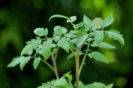 image of photosynthesis  - Closeup of Tomato plant growing in a pot  - JPG