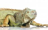 front view of an iguana
