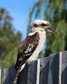 picture of blue winged kookaburra  - a photo of a kookaburra sitting on a fence - JPG