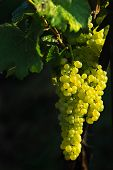 foto of wine grapes  - glowing tasty wine grapes - JPG