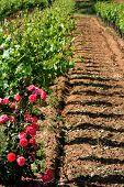 Vineyard And Flowers