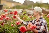 farming, gardening and people concept - happy senior woman with flowers blooming at summer garden poster