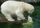 Oso polar con Cub