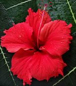 picture of hawaiian flower  - red exotic flower macro on leaves - JPG