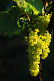 stock photo of wine grapes  - glowing tasty wine grapes - JPG